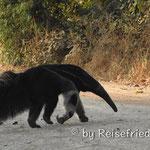 Der Ameisenbär
