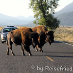 Bison als Verkehrsteilnehmer