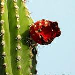 blühender Kaktus in der Wüste von Tatacoa