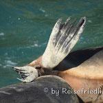 Seehunde am Ausruhen