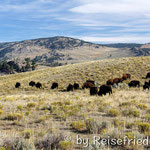 Bisonherde im Lamar Vally
