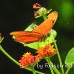 Schmetterling auf der Canas Castilla