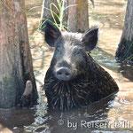 Wildschwein in den Sümpfen