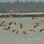 Flamingo in Rio Lagartos