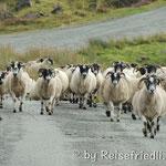 Schafe als Verkehrsteilnehmer