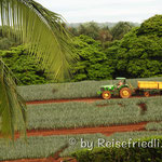 Ananasplantage der Firma Dähler