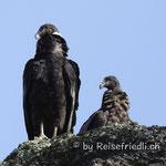 Kondore im Torres del Paine