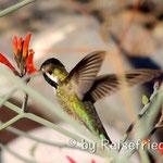 Kolibri am Übernachtungsplatz