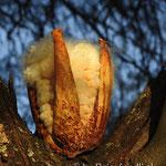 Baumwollähnliche Blüte des Flaschenbaums