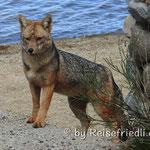 Fuchs im Parque Los Alerces