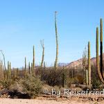Kakteenvielfallt im Norden der Baja
