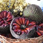 Die Früchte der Araukarien