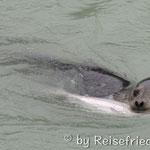 Robbe beim Fischen