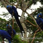 Blaue Ara-Papagaien