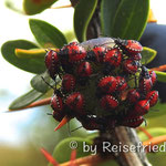 Calafate-Beeren mit Käfern