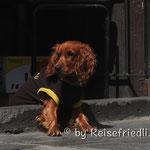 Hund in Arecipa
