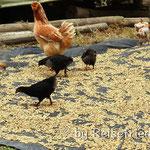 Hühner bei der Arbeit
