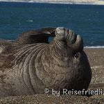 Seeelefanten-Männchen am relaxen