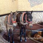 Maultiere in der Tequilla-Destilierie