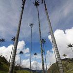 Waxpalmen im Vallé de Cocoa