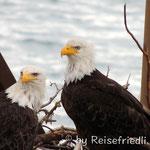 Weisskopfadler im Nest