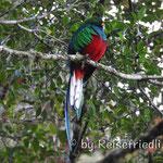 Quetzal am Mirador Quetzales