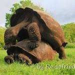 Riesen-Schildkröte bei der Arbeit :-)