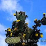 blühende Kaktus