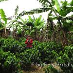 Auf der Kaffe-Plantage nähe Coba