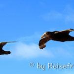 Albatrosse begleiten unser Schiff