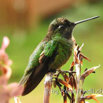 Kolibri am Mirador Quetzales