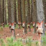 Harzgewinnung von Pinienbäumen