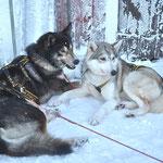 Schlittenhunde in Harmonie...