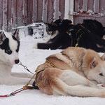 Relaxen  nach einer Huskytour in Lappland