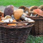 Pilze sammeln bei uns in Lappland