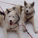 Siberian Husky Ike  und  Joik  entspannen
