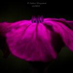 pink crown-3