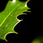 grüne spitze Blätter-2