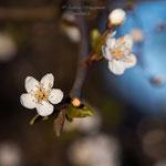 Blütenfrühling-3