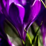 lila Frühling-1