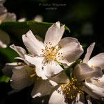 white flowers in the neighborhood-1