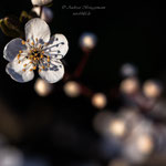 Blütenfrühling-5