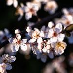 Blütenfrühling-4