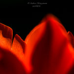 roter Frühling-4