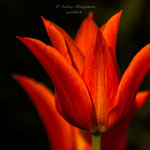 roter Frühling-7