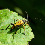 Longhorn Beetle, Rutpela maculata