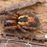 Hinernating Spider