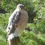 Sparrowhawk (courtesy Beth Booth) Totley/Gillfield, March 2021