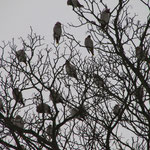 Waxwings November 2011