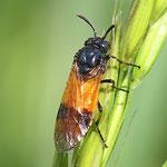 Rose sawfly